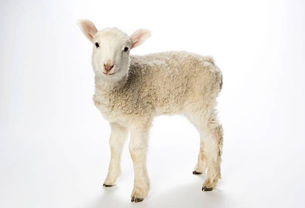 Giovane agnello su sfondo bianco guardando fotocamera. - foto stock
