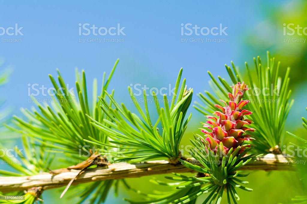 Young larch cone royalty-free stock photo
