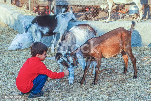 Young latino boy interacting with domesticated goats in a farm petting zoo compound.  Taken in Half Moon Bay, California, USA