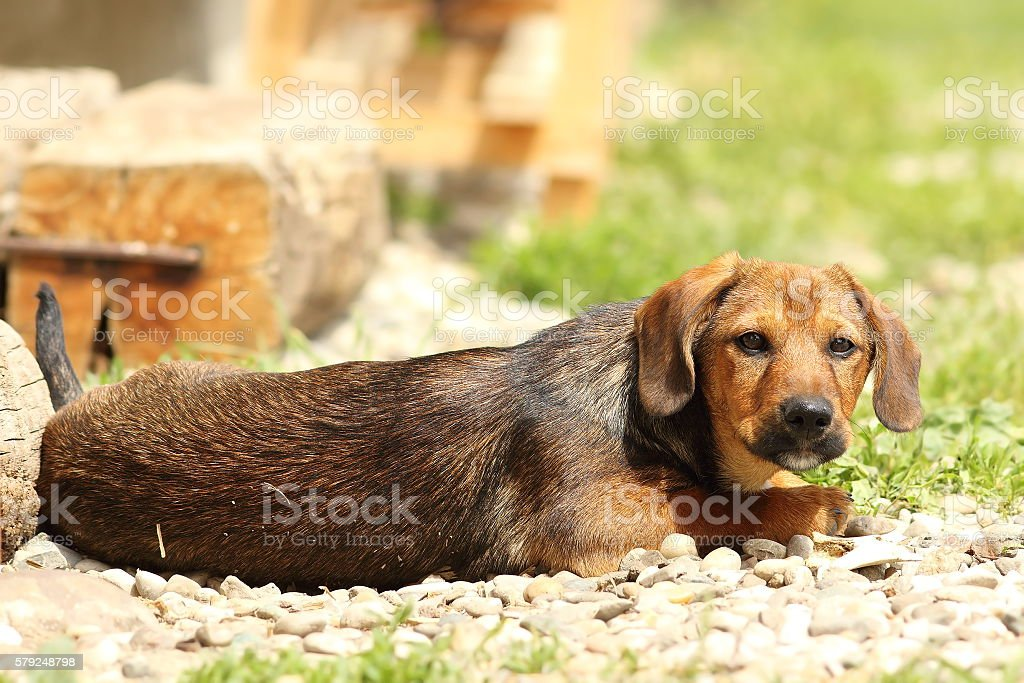 young lazy teckel stock photo