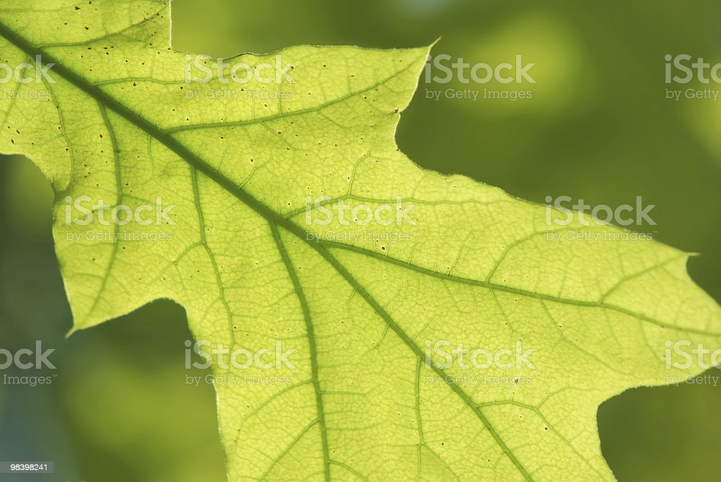 young leaf royalty-free stock photo