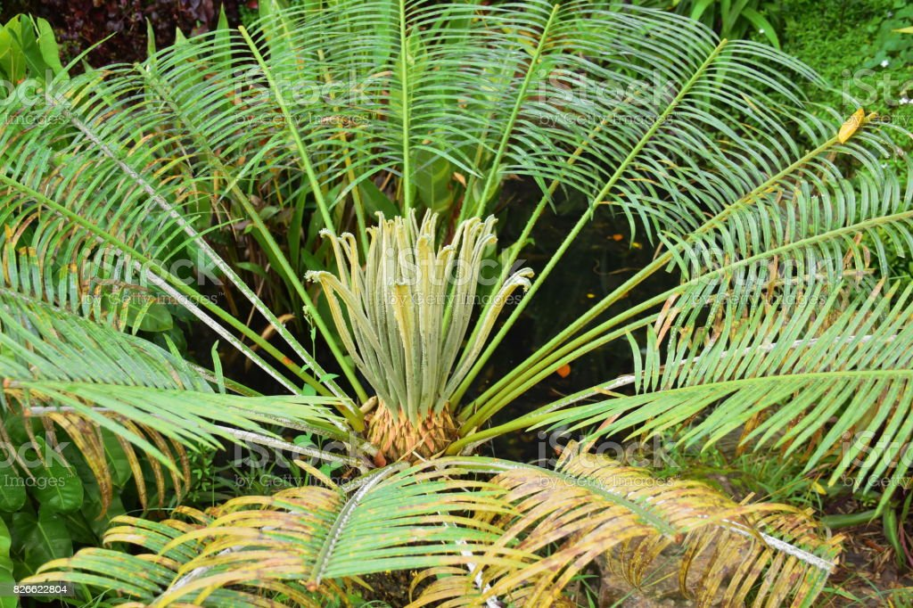 young leafe in center of Cycad tree. stock photo