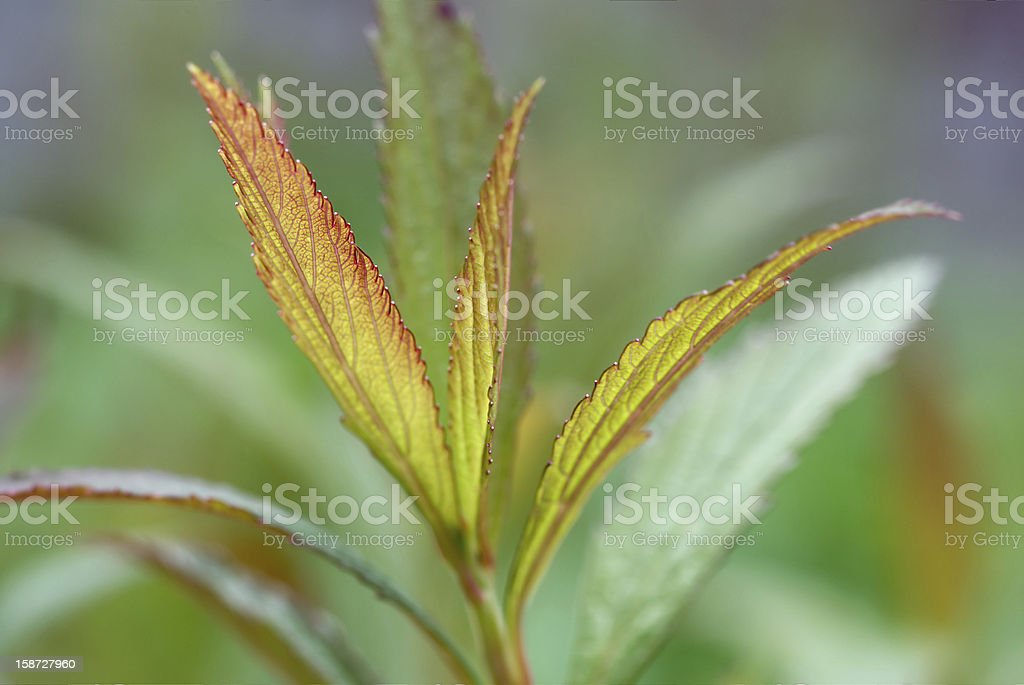Young leaves in soft light royalty-free stock photo