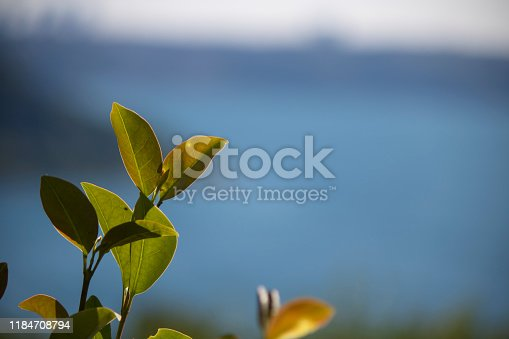 istock Young leaves of Avicennia marina in a mangrove forest 1184708794