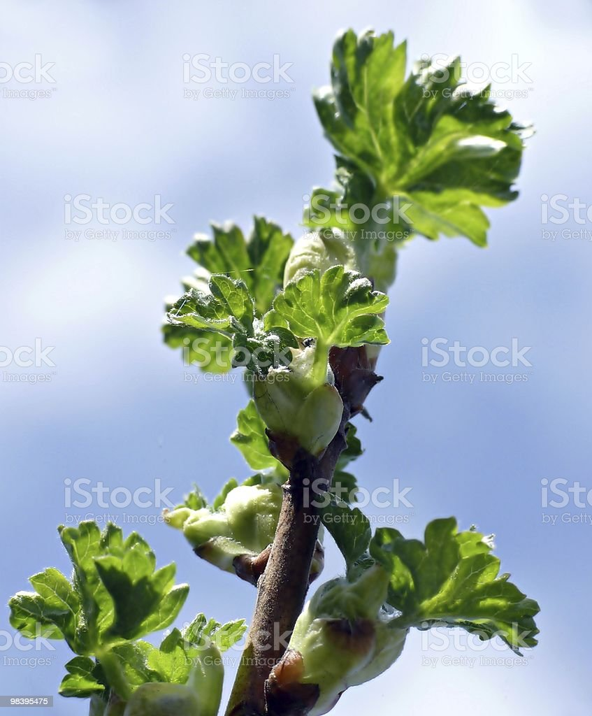 Young leaves of blackcurrant royalty-free stock photo