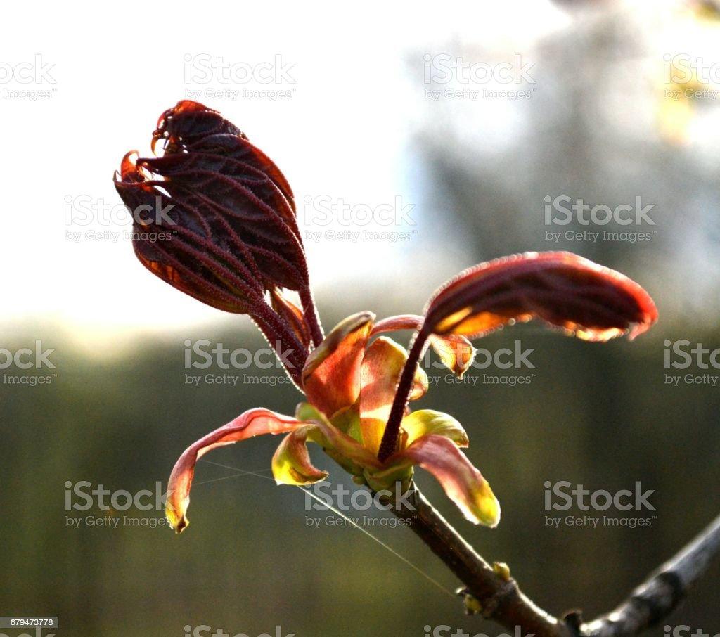 幼葉的加拿大楓葉一大早在公園裡 免版稅 stock photo