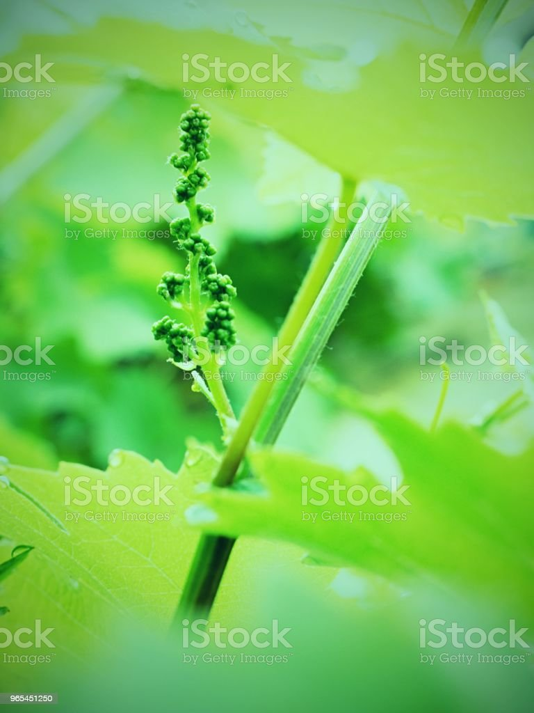 Young leaves of grapes in sunlight at sunset. Young inflorescence of grapes royalty-free stock photo