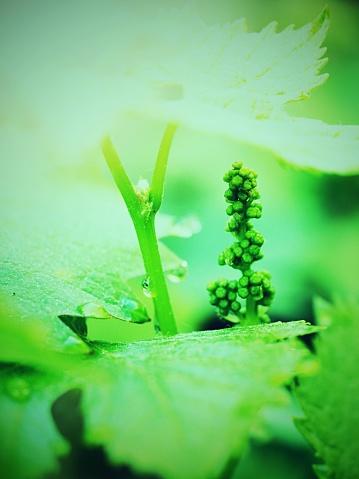 영 석양 햇빛에 포도의 단풍 포도의 젊은 화 서 0명에 대한 스톡 사진 및 기타 이미지