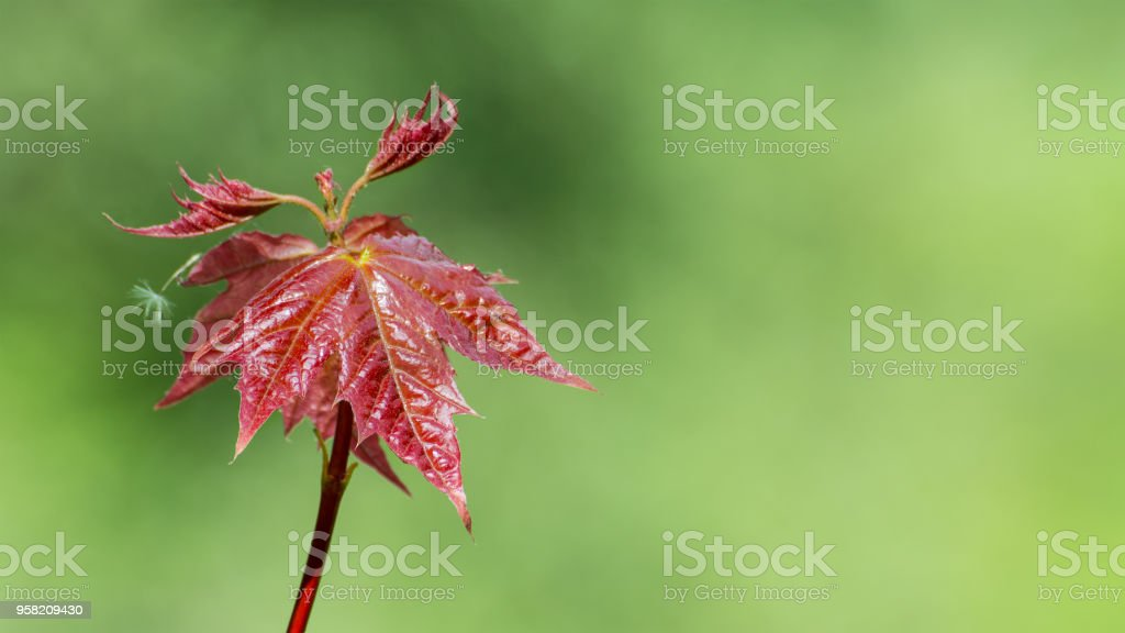 Young leaves of Japanese maple. Acer palmatum. Red-leafed cultivar close-up stock photo