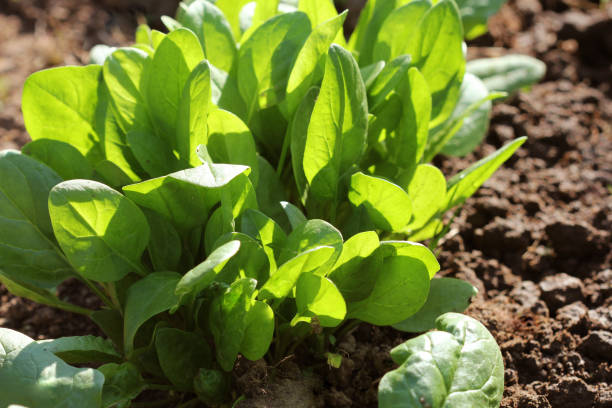 Young leaves of spinach.Sprouts spinach growing in garden. Green shoots. Young greens for salad stock photo