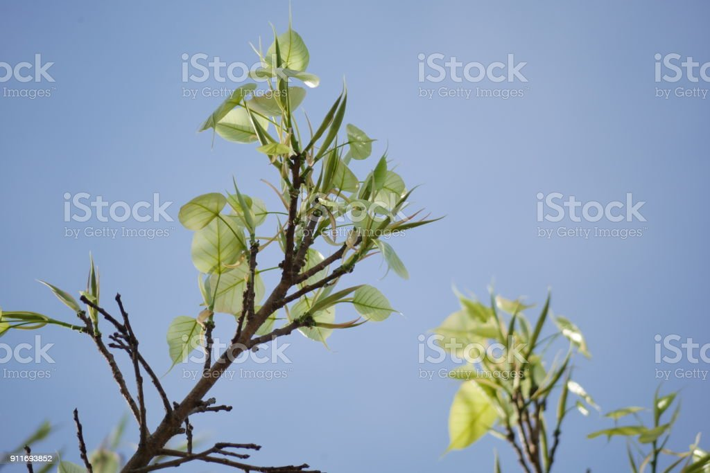 Young leaves of the Ficus religiosa stock photo