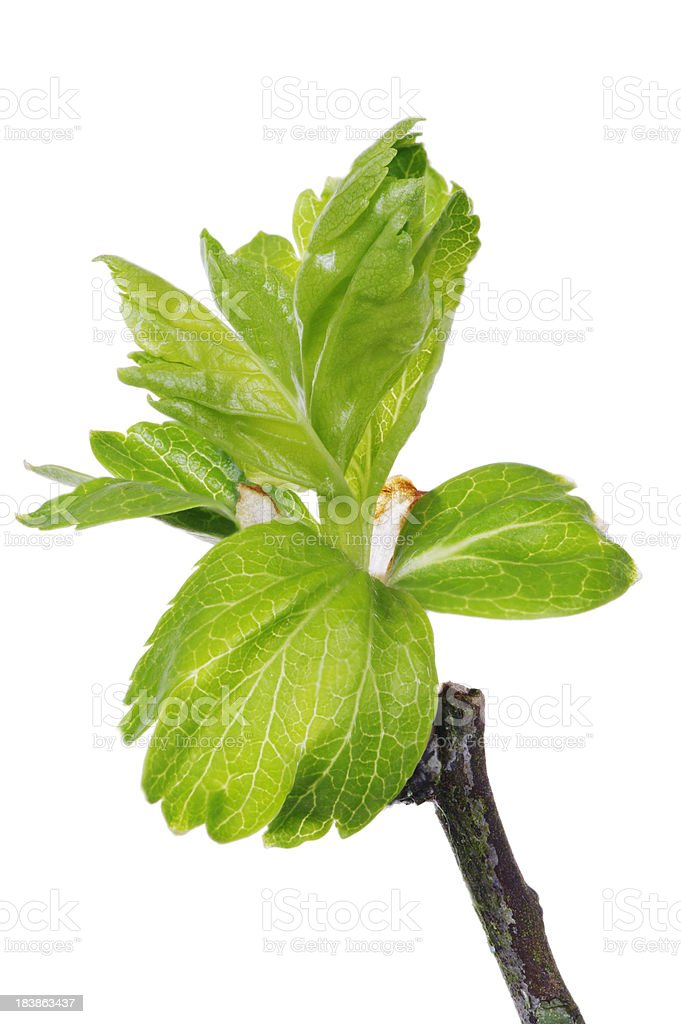 Young Leaves Of The Hawthorn Tree Crataegus royalty-free stock photo