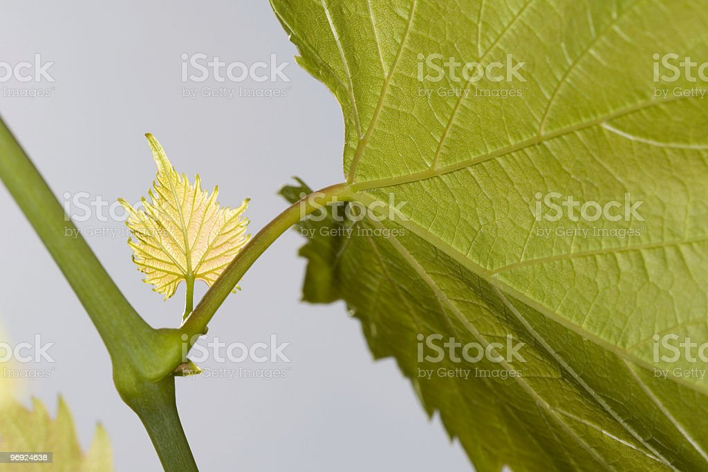 Young leaves of the vine royalty-free stock photo