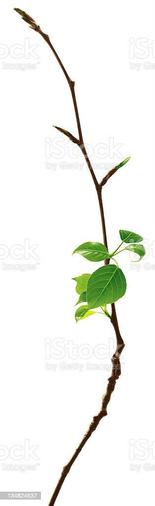 Junge Blätter – Foto