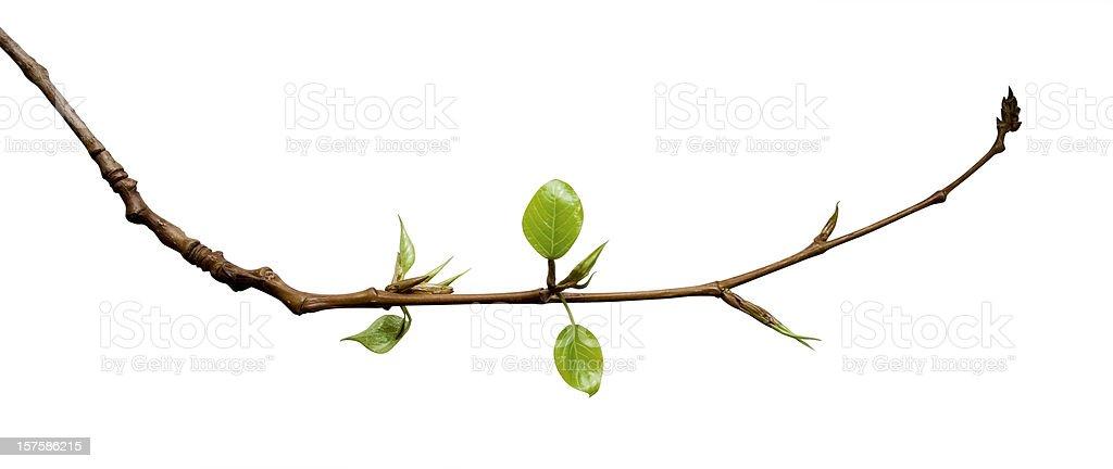 Jóvenes hojas - foto de stock