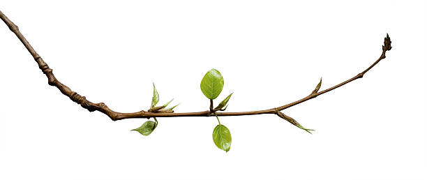 young leaves - branch plant part stock pictures, royalty-free photos & images