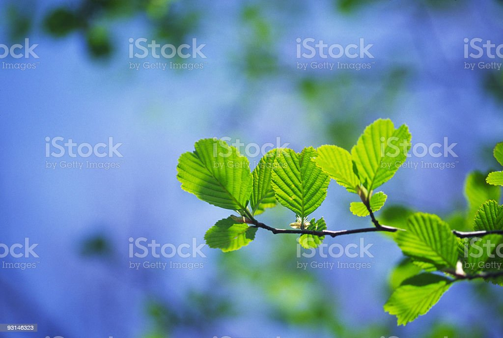 Young leaves royalty-free stock photo