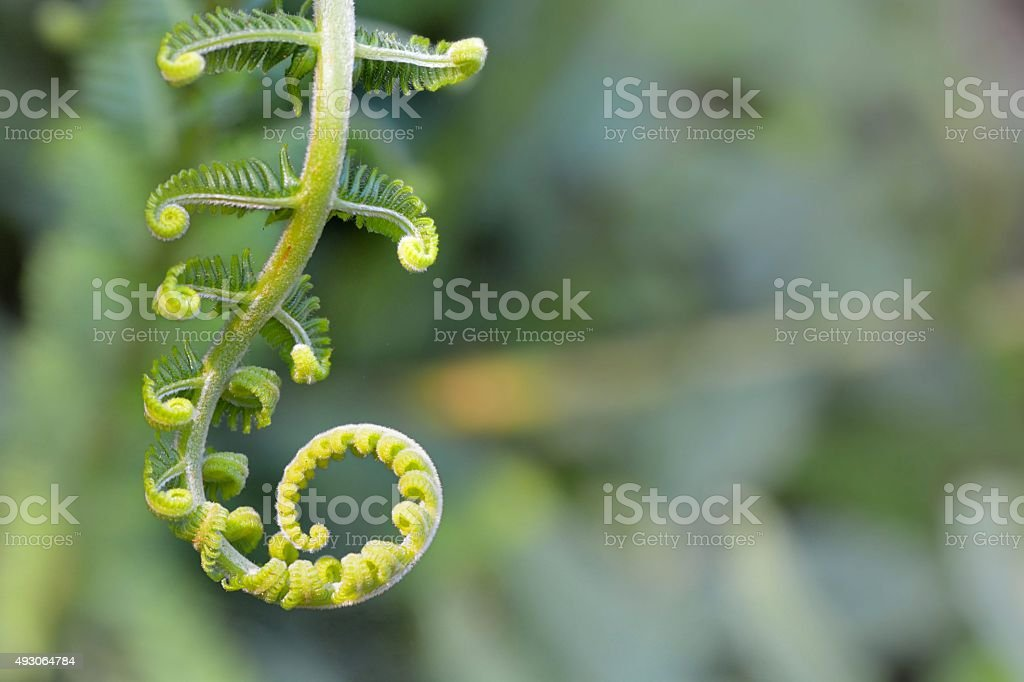 Young  Leaves were only a pteridophytes convolutions. stock photo