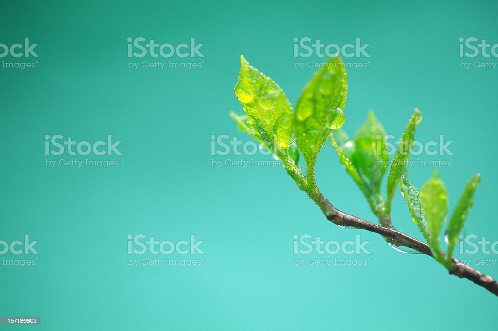 Young leaves with drops royalty-free stock photo