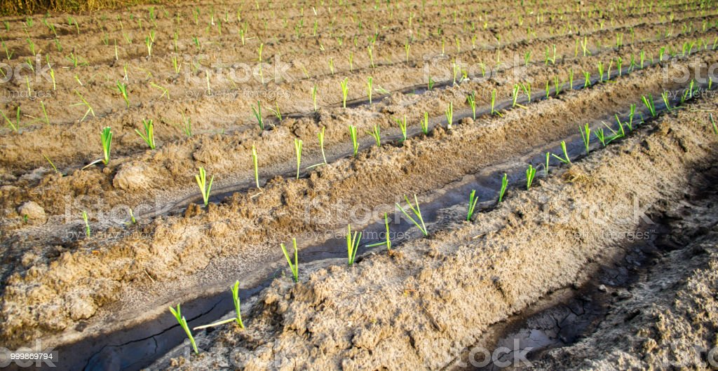Young Leek Growing In The Field Agriculture Vegetables Organic