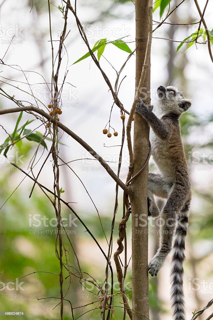 Young lemur climbing a tree in Madagascar stock photo