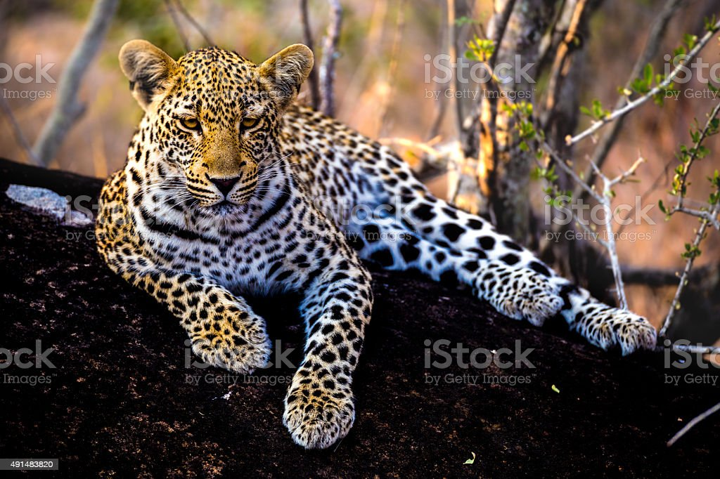 Young Leopard on Black Rock stock photo