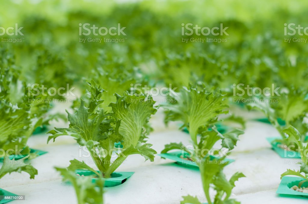 Young lettuce growth in hydroponics system stock photo