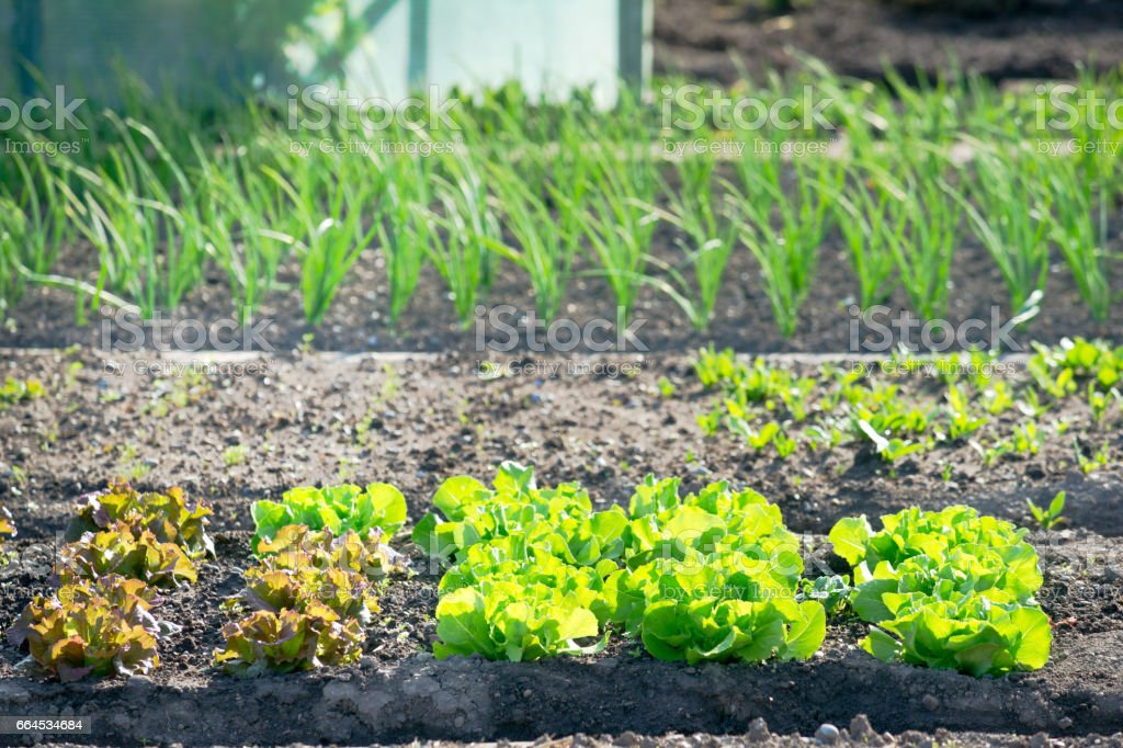 Young lettuce plants on a patch royalty-free stock photo