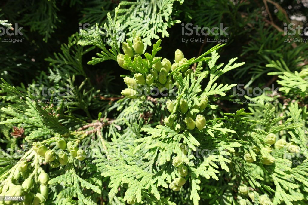 Young light green seed cones of Thuja occidentalis stock photo