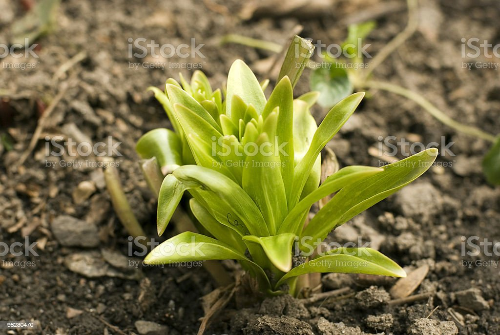 Young lily royalty-free stock photo