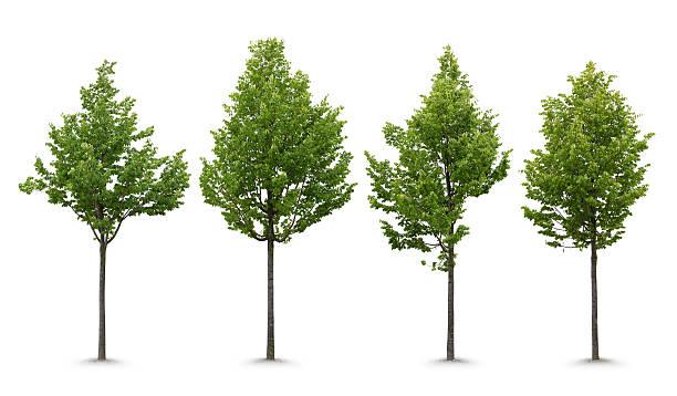 Young linden tree picture id483266170?b=1&k=6&m=483266170&s=612x612&w=0&h=xjpnse9ungvtxe28oghbm0pemejvtzxp5ilu6ixpas0=