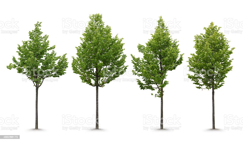 Young Linden Tree stock photo
