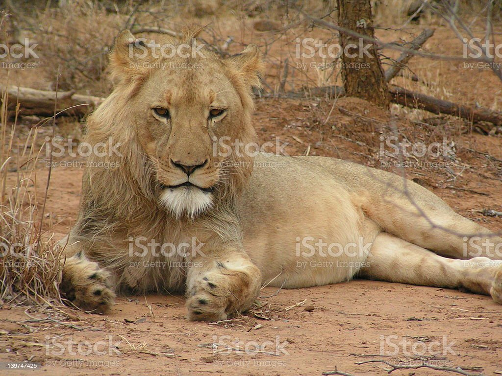 Young lion 2 royalty-free stock photo