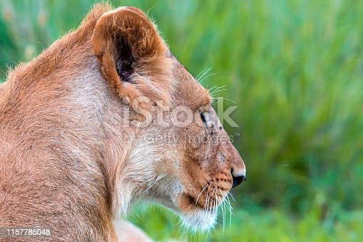 Young Lion at wild - Side view