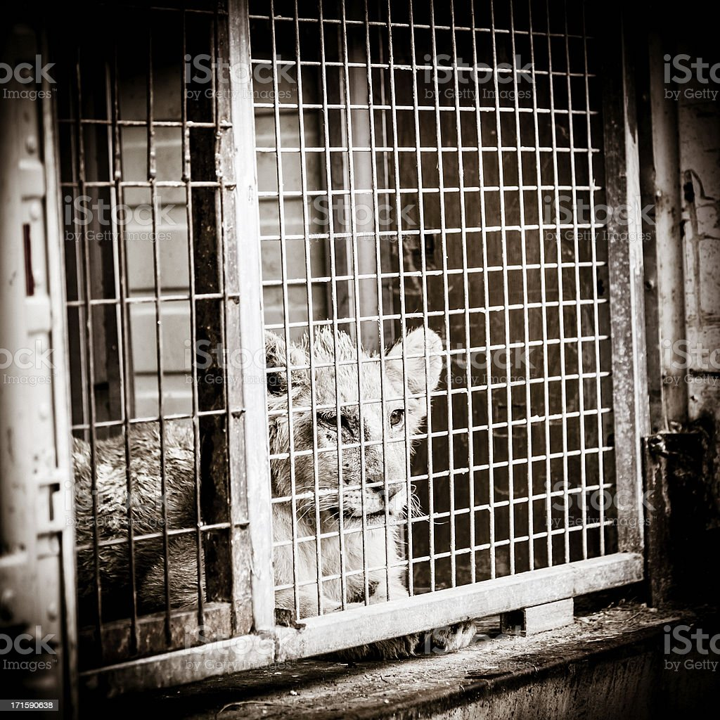 Young lion cub in a cage stock photo