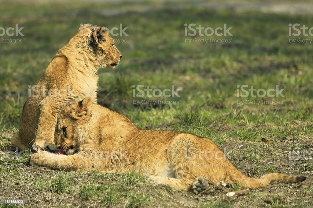 Young lion cubs eating royalty-free stock photo