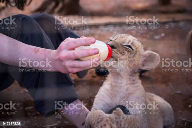 Young lion feeding from young woman picture id947137828?b=1&k=6&m=947137828&s=612x612&h=afrh kq0admzwyo hgbgqcrsgd gm6qhwfe0vlp1g s=