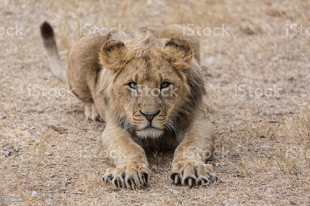 Young Lion  ready to attack stock photo