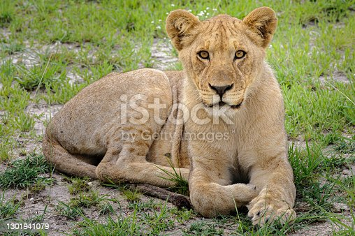 Youn lion resting in the green grass of Etosha National Park