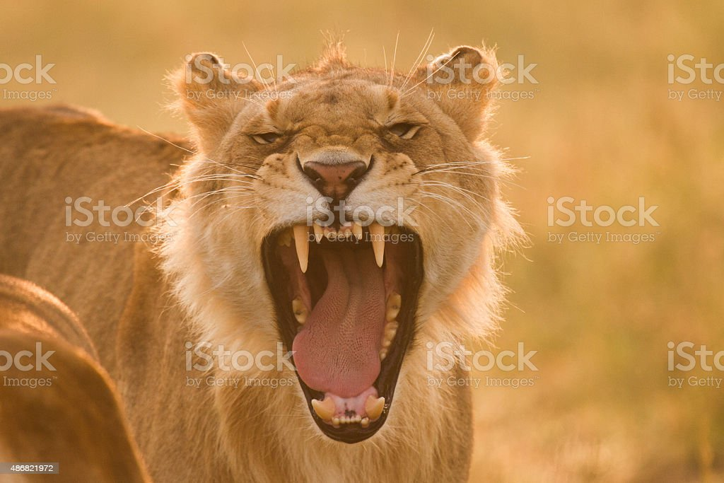 Young Lion Roaring in the Morning Sun stock photo