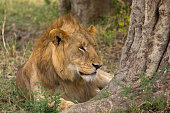 Young lion enjoying a rest in the shade of a tree on the african plains