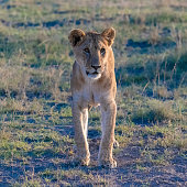 A young lion walking in the savannah, in the Serengeti reserve in Tanzania