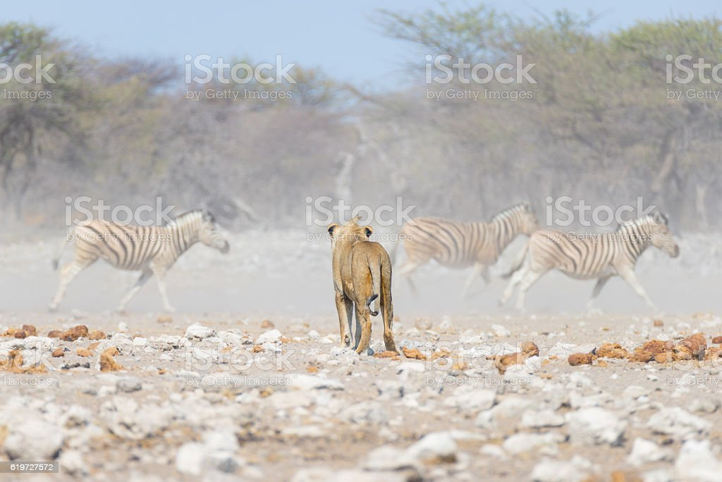 Young Lion walking towards running Zebras, Africa stock photo