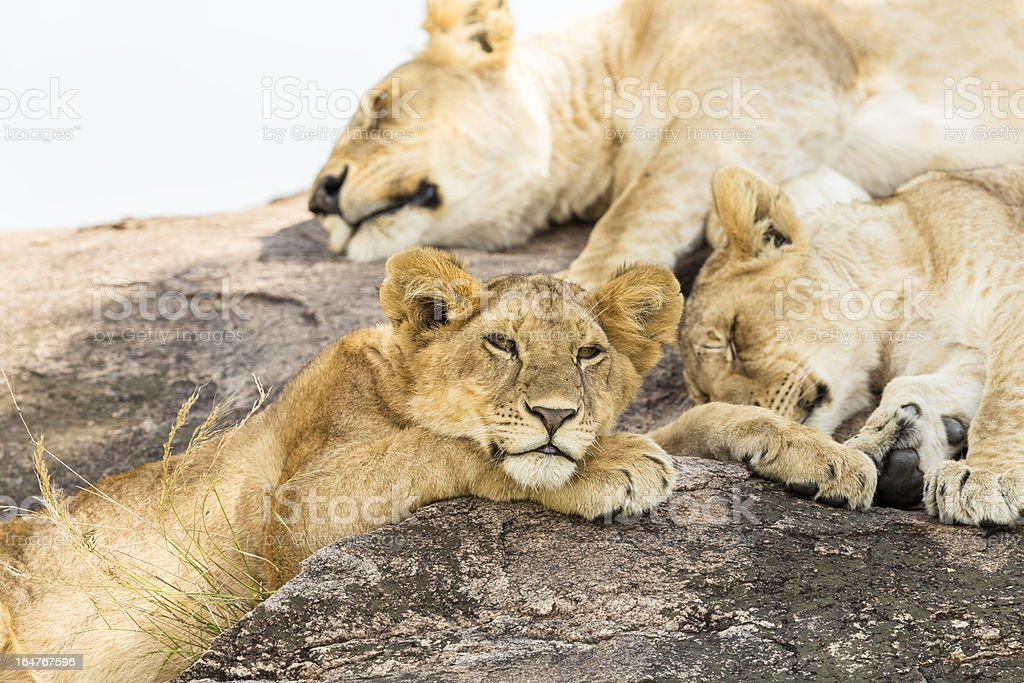 young Lioness at wild with sister and mother stock photo