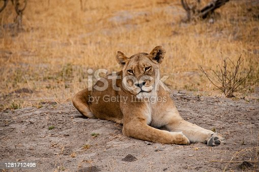 A young lioness relaxes on the warm sand after a night of hunting in the Moremi Natural Reserve.