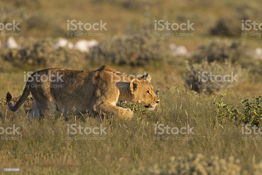 Young Lioness stalking royalty-free stock photo