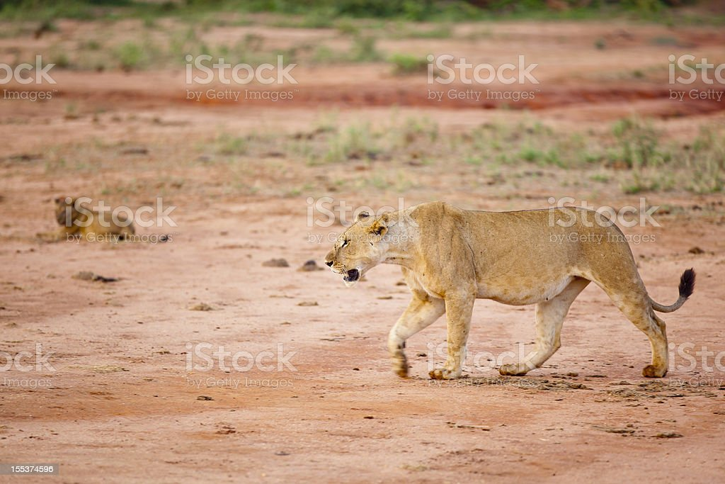 Young Lioness walking in morning sun with cub royalty-free stock photo