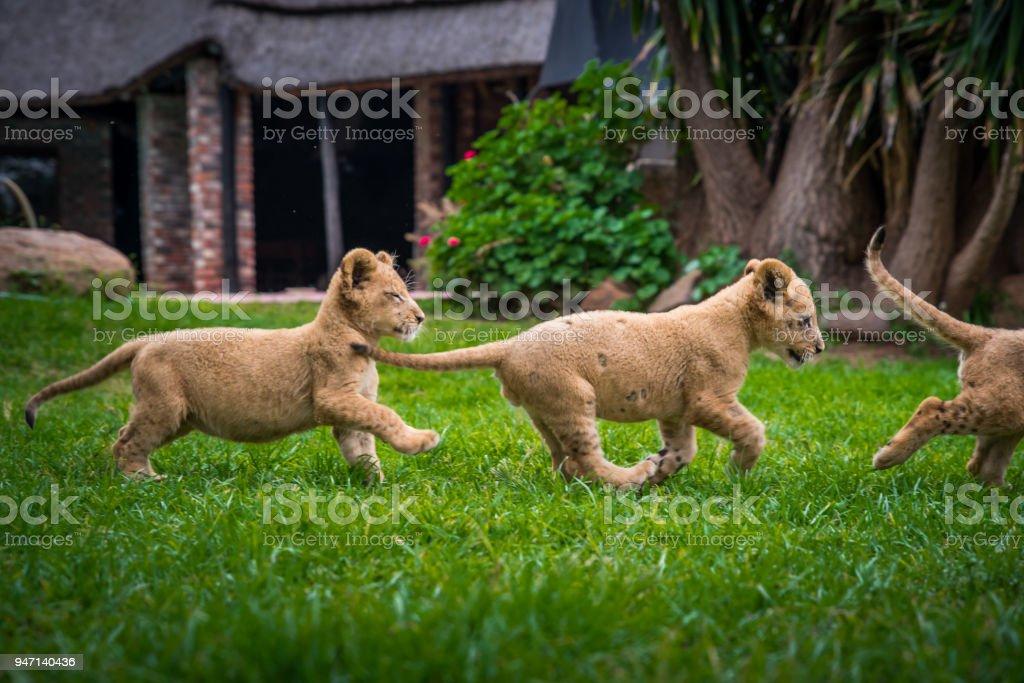 Junge Löwen Haben Spaß Im Grünen Garten Kostenlose Tiere Foto Mit