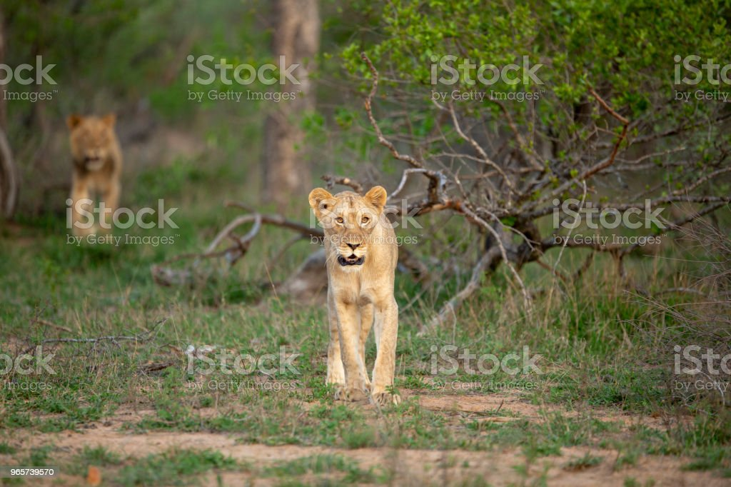 Young Lions hunting - Royalty-free Animal Stock Photo