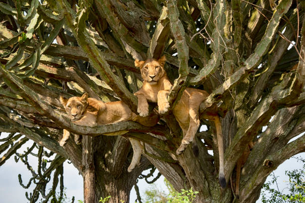 Young lions (Panthera leo) resting high up in a cactus tree stock photo
